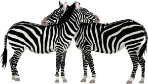 Zebra, symbol för Ehlers-Danlos syndrom
