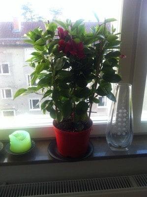 Klätterväxt i kruka, blommor