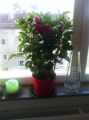 Klätterväxt i kruka. Hur man dödar en blomma.