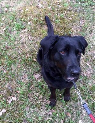 Hund, svart labradormix