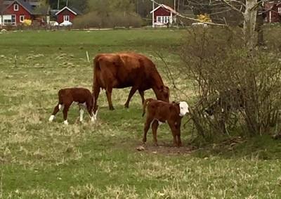 Ko och små kalvar! Tog med en vovve på promenad runt hagen.