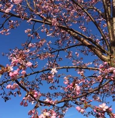 Japanskt körsbärsträd mot en blå himmel