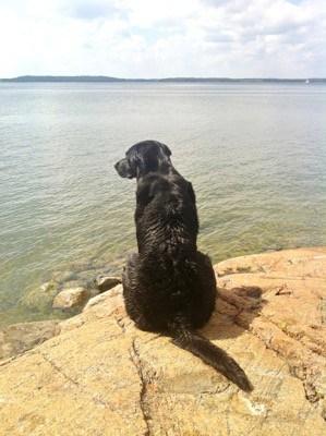 Hund vid vatten som letar efter leksak. Hemfärd.