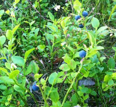 Blåbär. Rensar frysen och gjorde blåbärspaj.