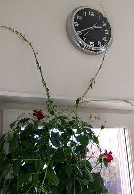Krukväxt, blommor och klocka