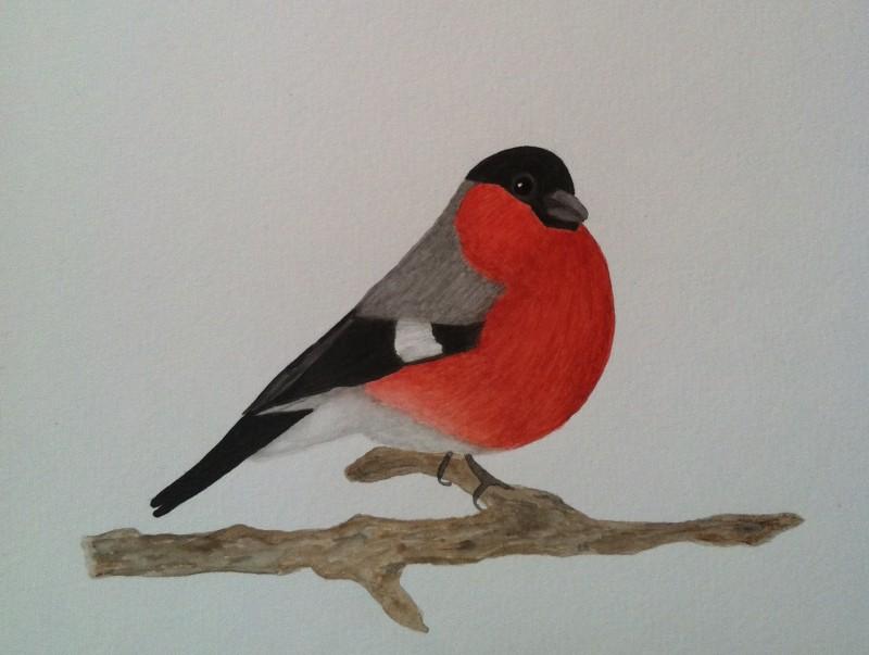 Domherre i akvarell. Målningar av fåglar.