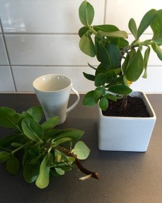 Gröna växter, en i en mugg med vatten och en i kruka