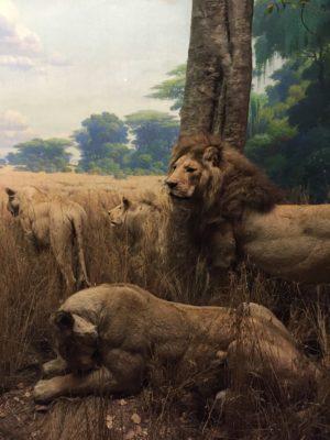Lejon i diorama på Natural History museum i New York