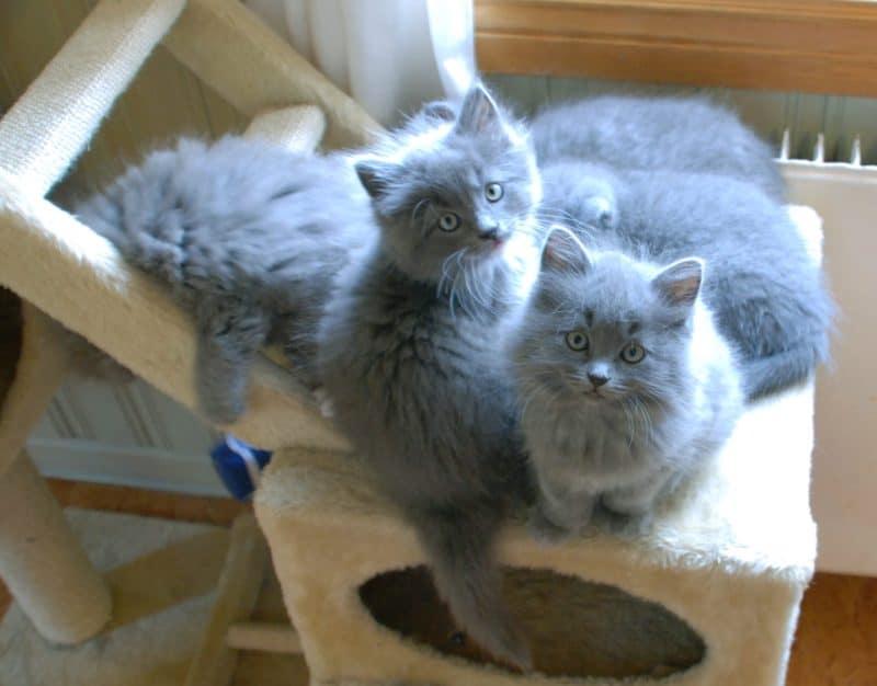 Kattungar, grå katt