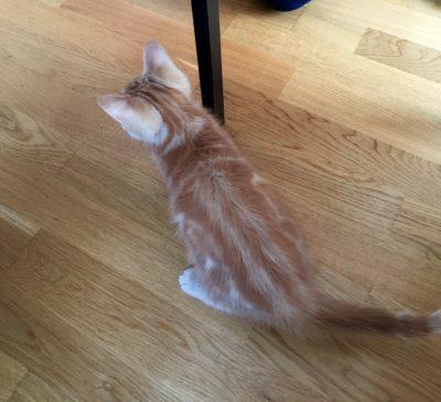 Orange katt