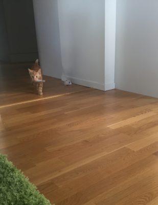 Liten orange kattunge, katt. Stolt över leksak.