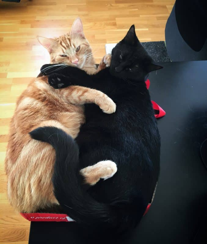 Fjodor och Finkel, svart katt och orange katt ligger i en kartong