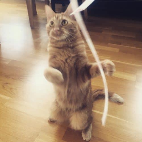Orange katt dansar, Fjodor. Får jag lov?