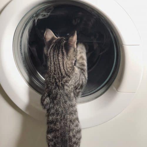 Grå kattunge, Morris, tittar i tvättmaskinen