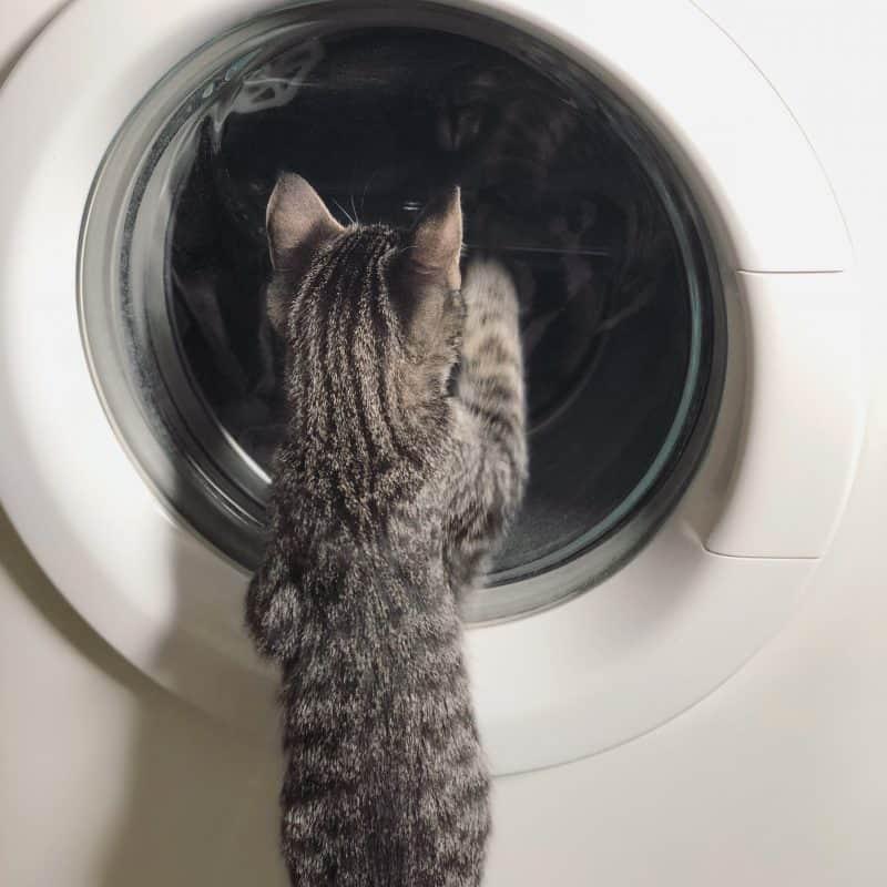 Morris, grå katt tittar i tvättmaskinen