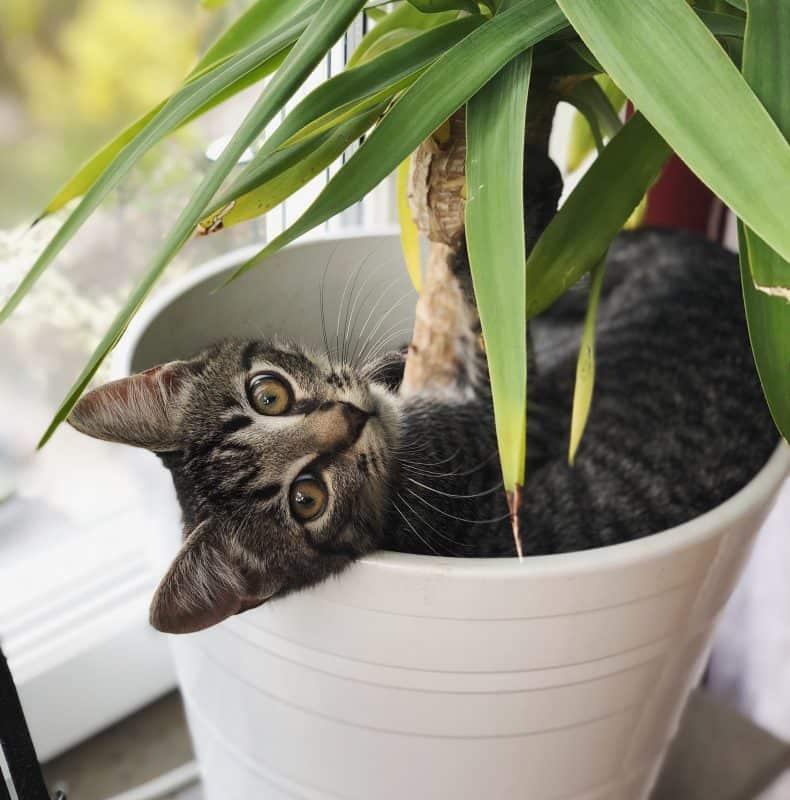 Grå kattunge, Morris, ligger i en blomkruka